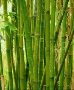 fototapety bambusy