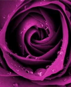 fototapety róże