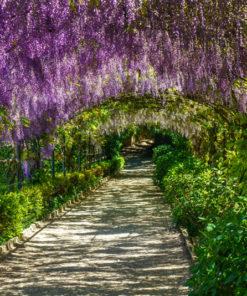 tapeta z wisterią